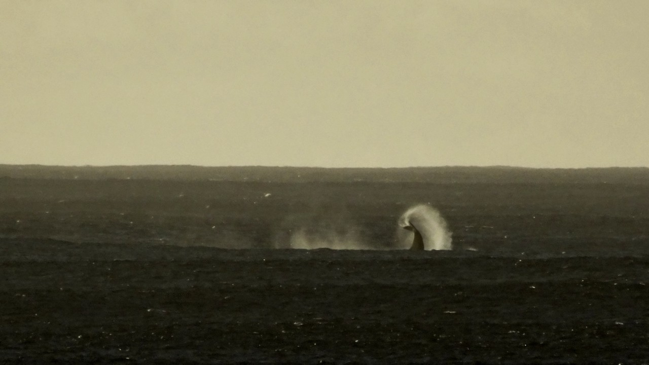 Whale breaching near Kaena point